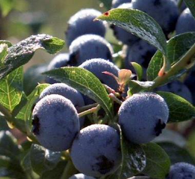 BC-Blueberry