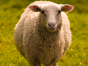 AGRI Webinar - Sheep