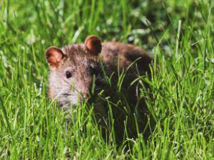 BCYF Rodent Control Webinar